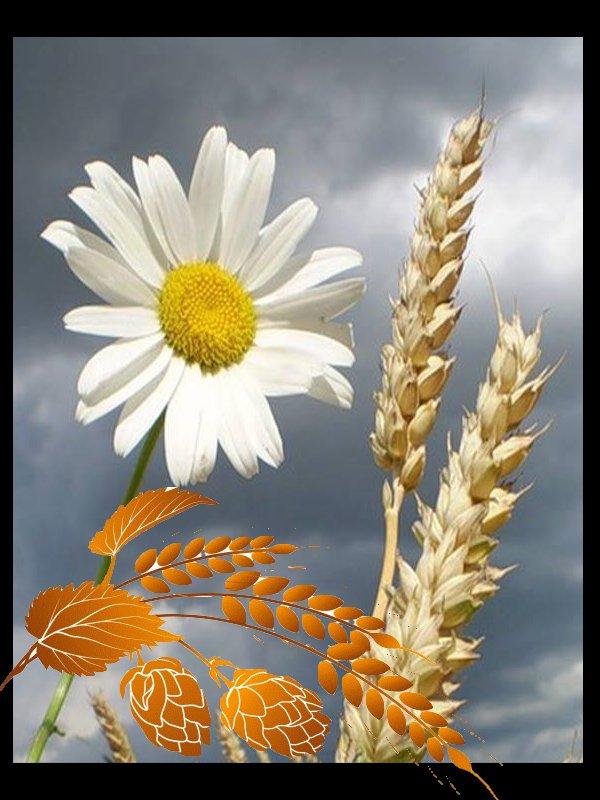 Le blé !!