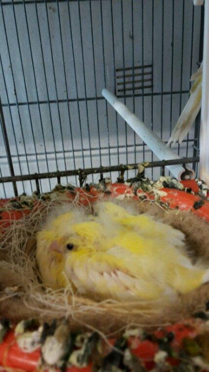 Razat  jaune