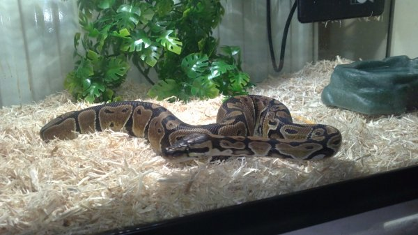 ALBUS mon python royal