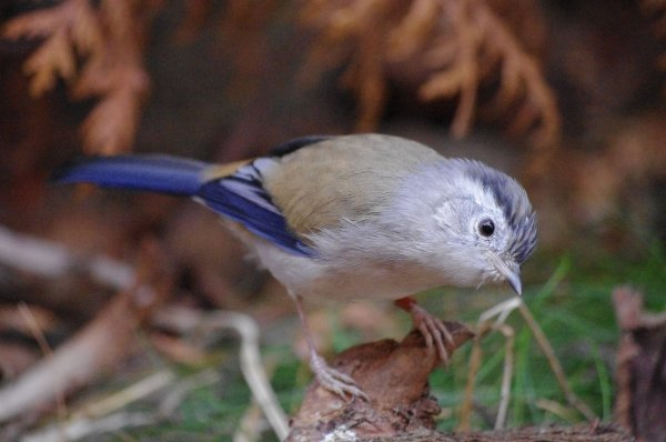 Minla à ailes bleues ( minla cyanouroptera )