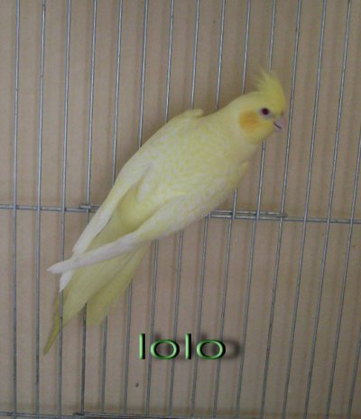 Bronze fallow cinnamon joues jaunes femelle