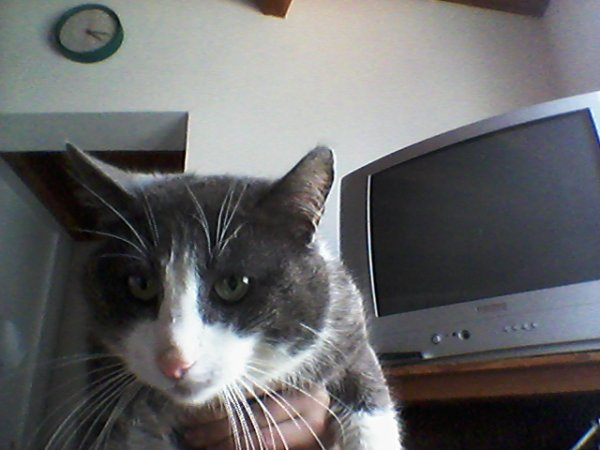 Mistigris mon  poti chat