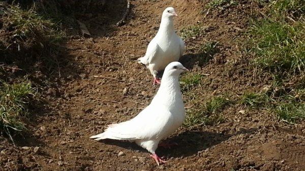 Voici mon couple de pigeon