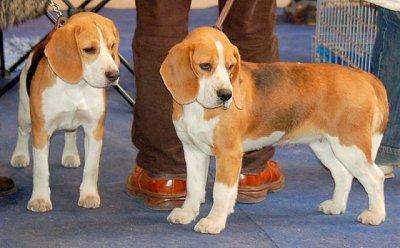 À Tricolore Beagles Les Racedechiens13 Faded » Robe Blog La Sur « HtdBd