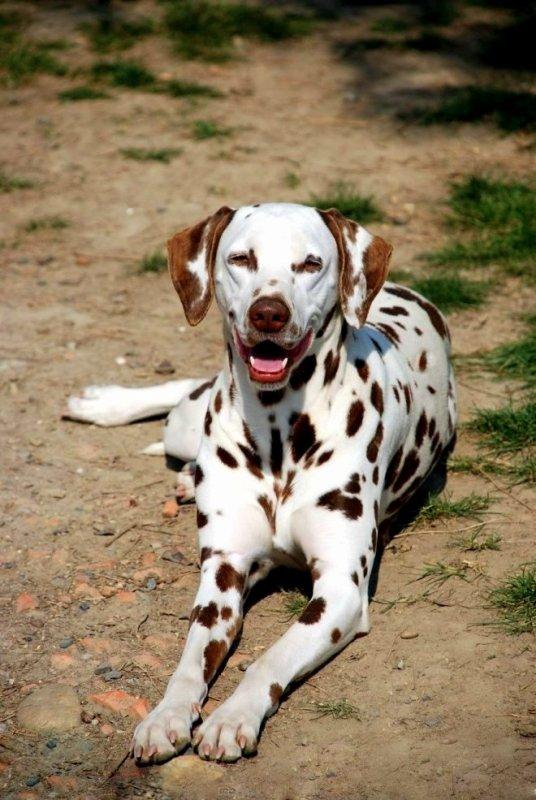 Couleur Dalmatiens tachetés marron (foie) - Blog sur les