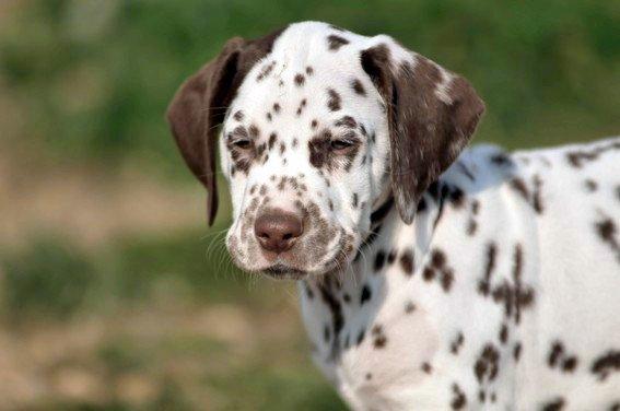 Dalmatien le patch à l'oreille - Blog sur les racedechiens13
