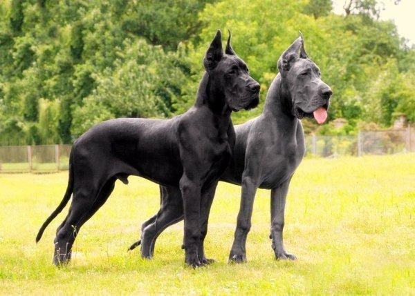 Dogue Allemand Adulte Et Chiot Blog Sur Les Racedechiens13