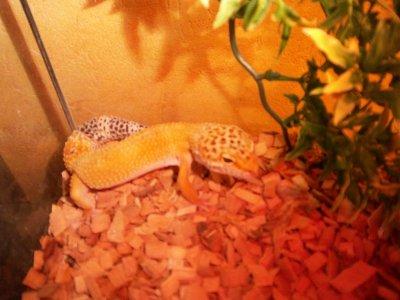 Mâle Gecko! 1 an