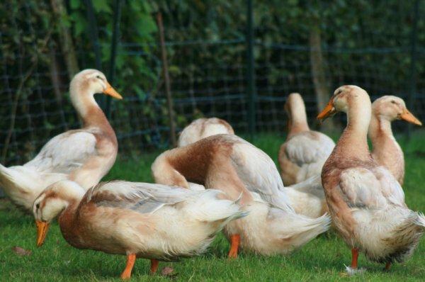 Canard de Saxe