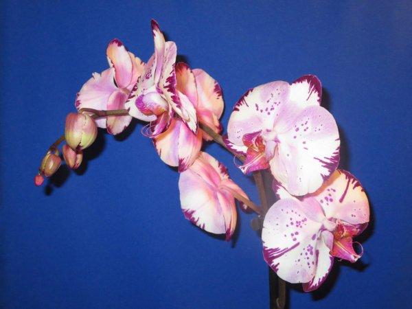 ♥ Les orchidées ♥