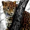 léopard derrière un abre