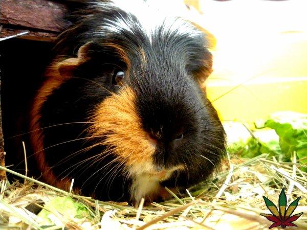 Kiwy, mon gros cochon d'Inde d'amour