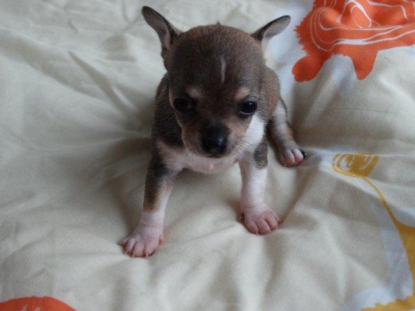 Bébés Chihuahua