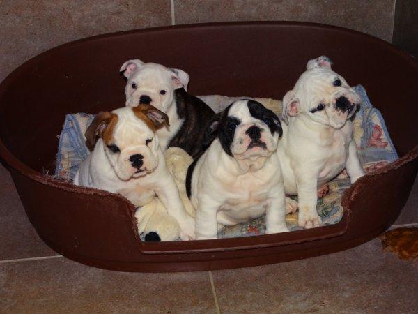 Unique Bouledogue Français , 3 mâles et 1 femelle ( la plus blanche )