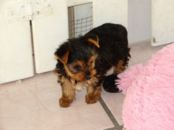 2 Chiots femelles yorkshire TOY