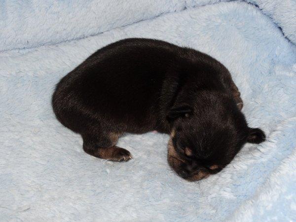 Les Chihuahuas du Lys Argenté