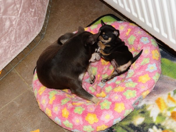 Chiots Chihuahua poils court et poils long