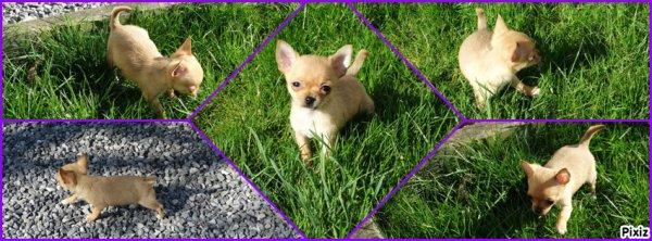 Chihuahua poils court très petit gabarits disponible de suite