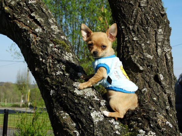 Harry mini mâle chihuahua disponible