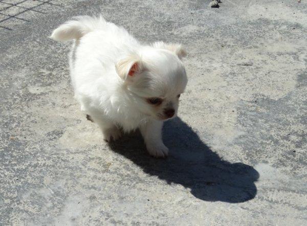 Chihuahua poils long tres petits