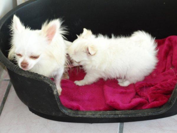 Les Chihuahua du Lys Argnté