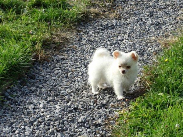 Mini Chihuahua Blanc