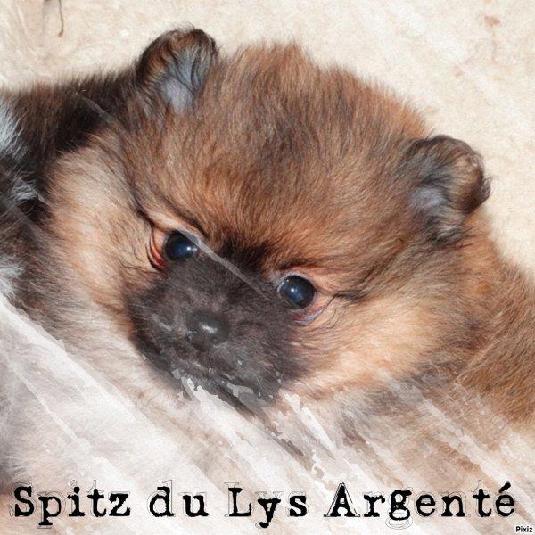 Spitz du Lys Argenté
