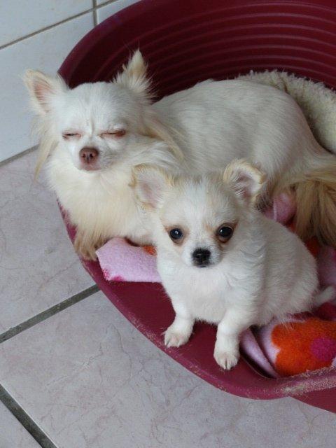 Chihuahua du Lys Argenté