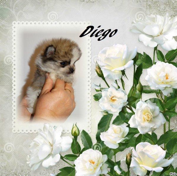 Spitz , chihuahua , Bichon et Shih tzu