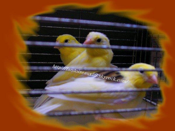 3 jeunes de canari Malinois waterslager