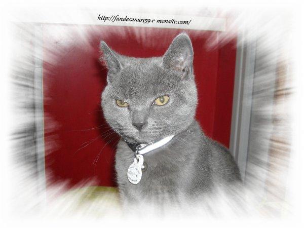 Notre chaton chartreux