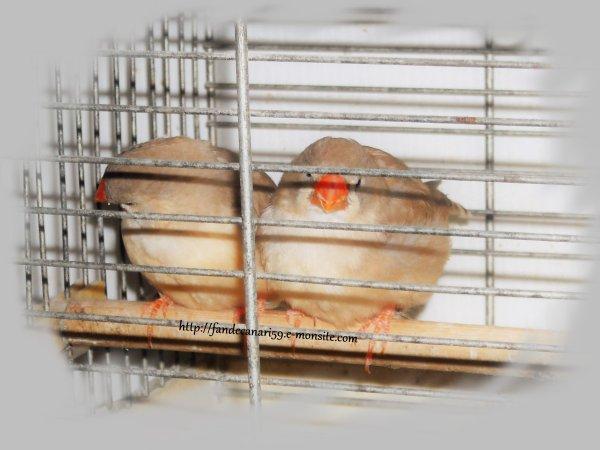 2 femelles gros gabarit brune