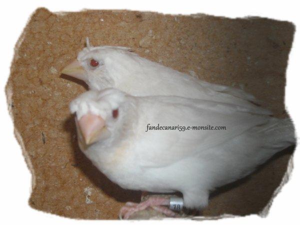 Mâle mdj huppé blanc yeux rouge.