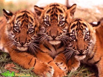 Fond D Ecran Tigre Fond D Ecran Sur Les Felins