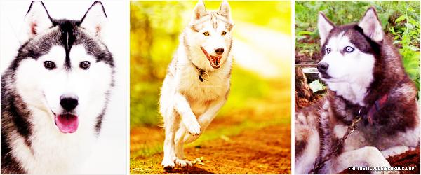.  Le Husky Sibérien   .