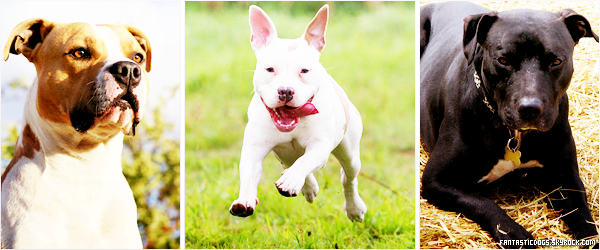 .  L'American Staffordshire Terrier   .