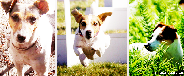 .  Le Jack Russell Terrier  .