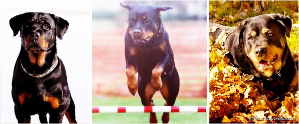 .  Le Rottweiler  .