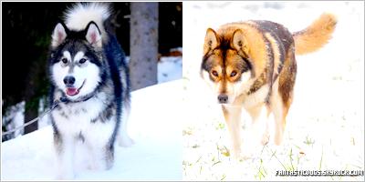 .  Principales différences entre les Husky Sibérien et les Malamute d'Alaska   .