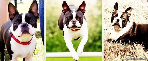 .  Terrier de Boston (Boston Terrier)   .
