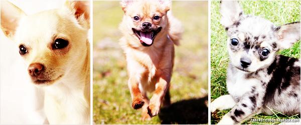 .  Le Chihuahua   .