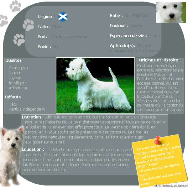 .  Le West Highland White Terrier (Westie)   .