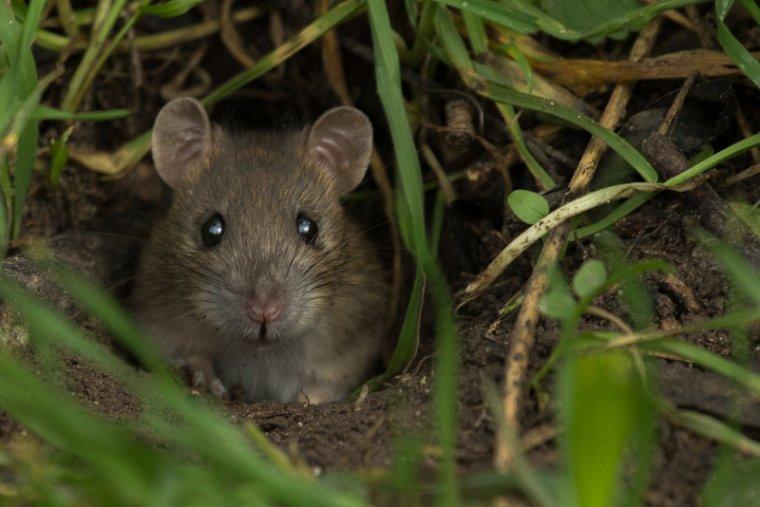 RATS DES CHAMPS
