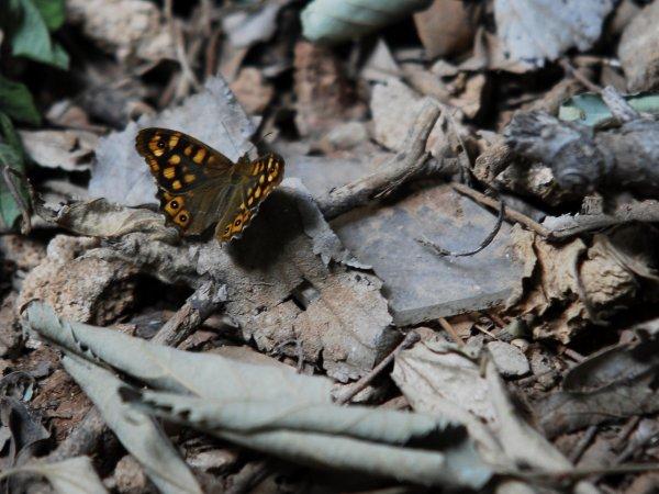 éphémere papillon sur un tas de feuilles mortes