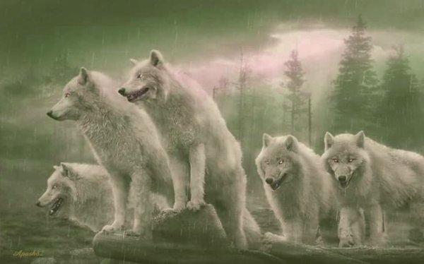 les  joli loups blanc sous la pluie et sous le vent