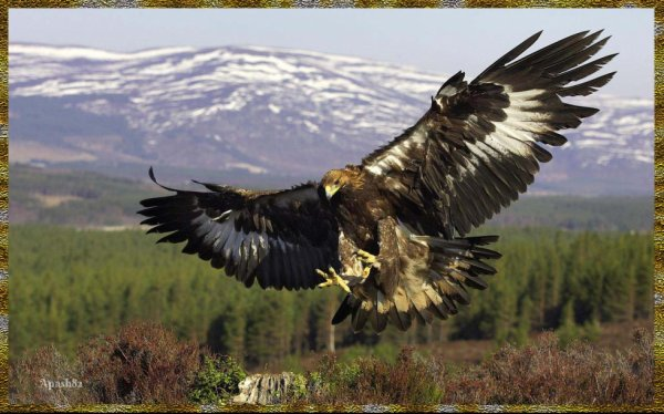 L'aigle royal est un grand rapace