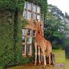 les  girafes  regarde parla fenêtre  pour souhaiter un soirée