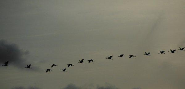 Pendant que le vol des grues s'offre à nos yeux en Argonne...