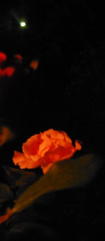 Roses de nuit et autres, suite...