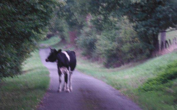 La vache...